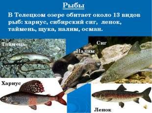 В Телецком озере обитает около 13 видов рыб: хариус, сибирский сиг, ленок, та