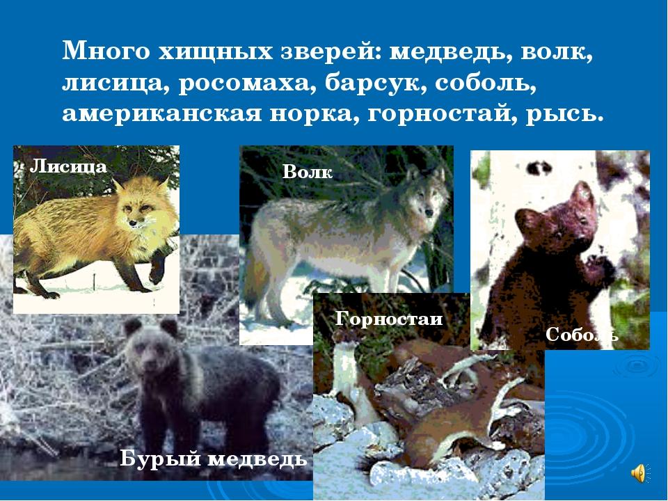 Много хищных зверей: медведь, волк, лисица, росомаха, барсук, соболь, америка...