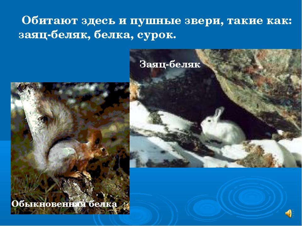 Обитают здесь и пушные звери, такие как: заяц-беляк, белка, сурок. Обыкновен...