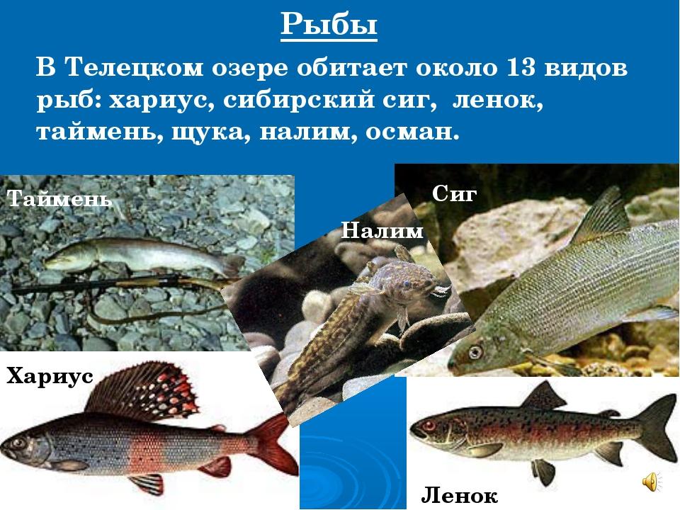 В Телецком озере обитает около 13 видов рыб: хариус, сибирский сиг, ленок, та...
