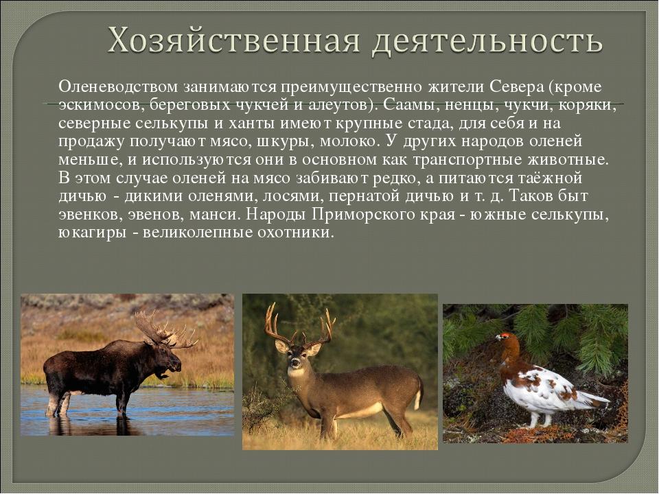 Оленеводством занимаются преимущественно жители Севера (кроме эскимосов, бере...