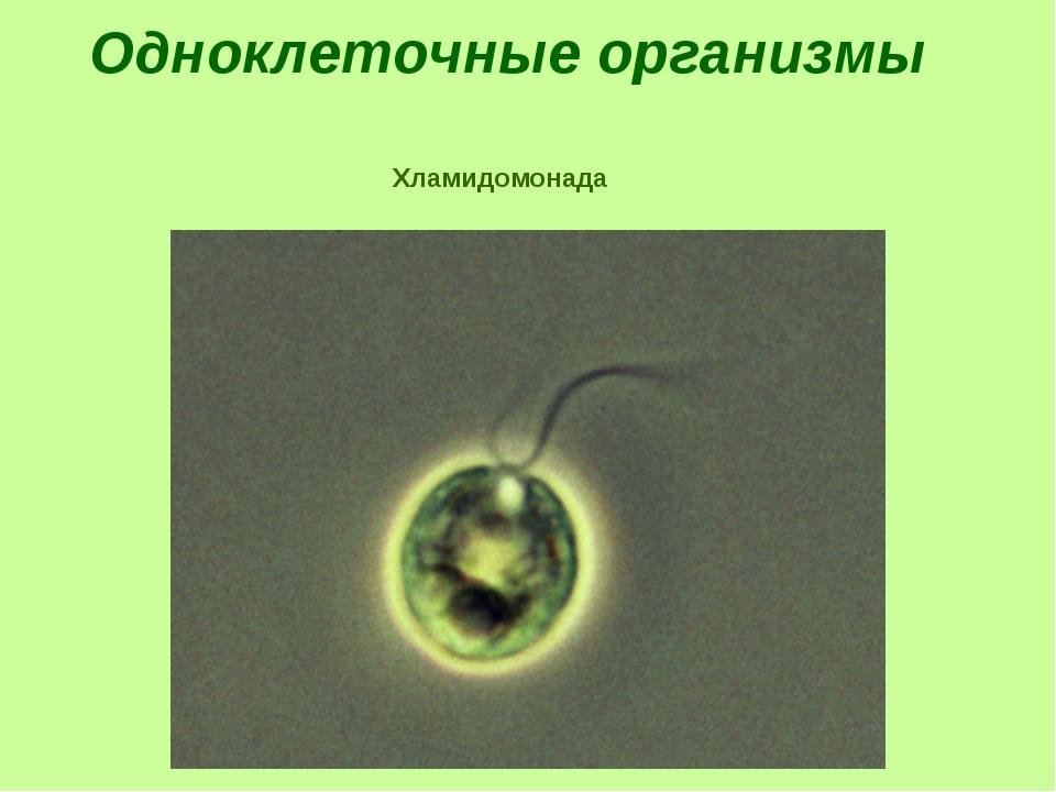 Одноклеточные организмы Хламидомонада