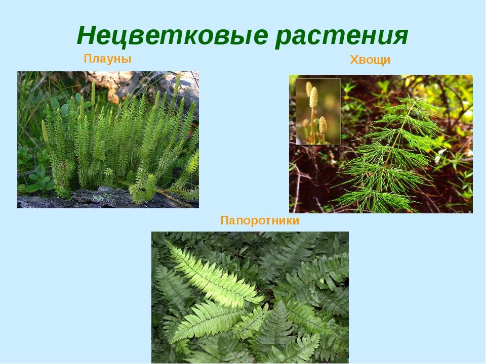 Нецветковые растения Плауны Хвощи Папоротники