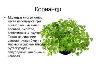 Кориандр Молодые листья кинзы часто используют при приготовлении супов, салат