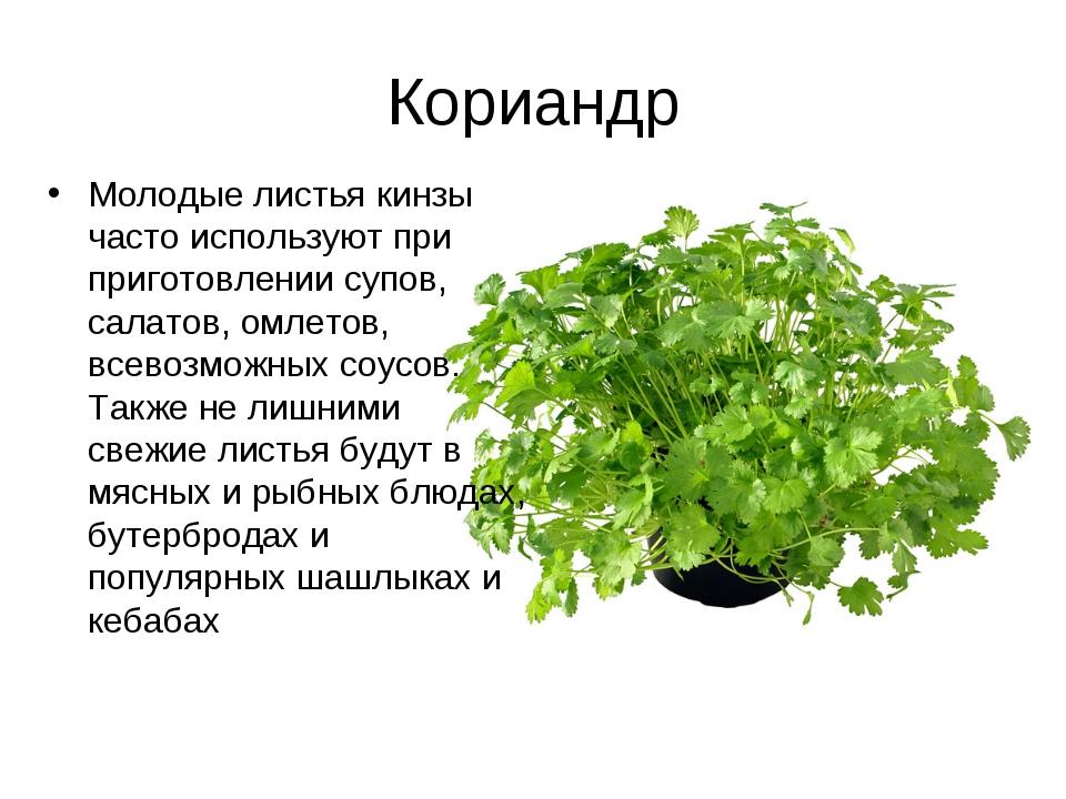 Кориандр Молодые листья кинзы часто используют при приготовлении супов, салат...