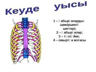 1 – қабырғалардың шеміршекті шеттері; 2 – қабырғалар; 3 – төссүйек; 4 – омырт