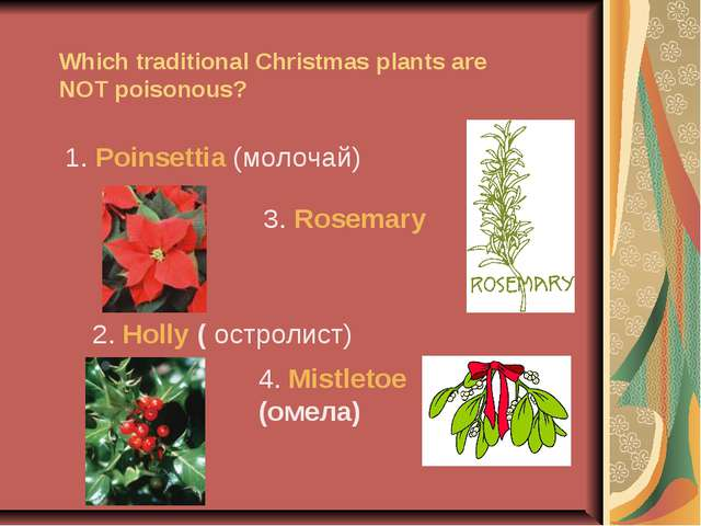 Which traditional Christmas plants are NOT poisonous? 1. Poinsettia (молочай)...