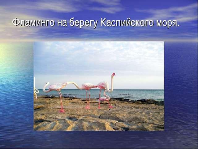 Фламинго на берегу Каспийского моря.