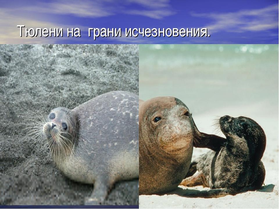 Тюлени на грани исчезновения.