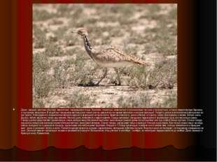 Джек - редкая, местами обычная, перелетная, гнездящаяся птица. Населяет глин