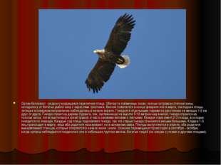 Орлан-белохвост - редкая гнездящаяся перелетная птица. Обитает в пойменных ле
