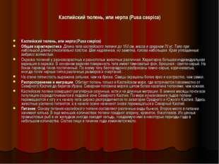 Каспийский тюлень, или нерпа (Pusa caspica) Каспийский тюлень, или нерпа (Pus