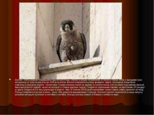 Сапсан - очень редкая гнездящаяся перелетная птица. Обитает в рощах на равнин