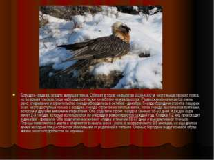 Бородач - редкая, оседло живущая птица. Обитает в горах на высотах 2000-4000