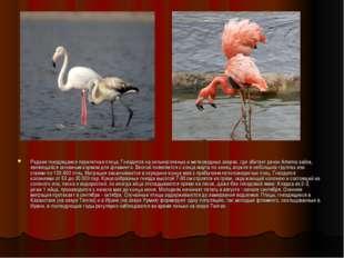 Редкая гнездящаяся перелетная птица. Гнездится на сильносоленых и мелководных