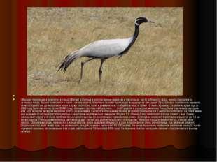 Обычная гнездящаяся перелетная птица. Обитает в степных и полупустынных равн