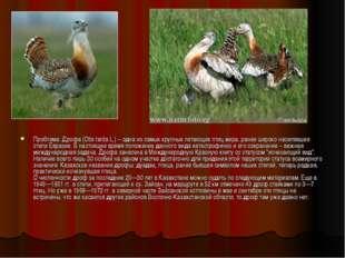 Проблема: Дрофа (Otis tarda L.) – одна из самых крупных летающих птиц мира, р