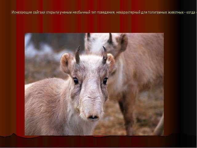Исчезающие сайгаки открыли ученым необычный тип поведения, нехарактерный для...
