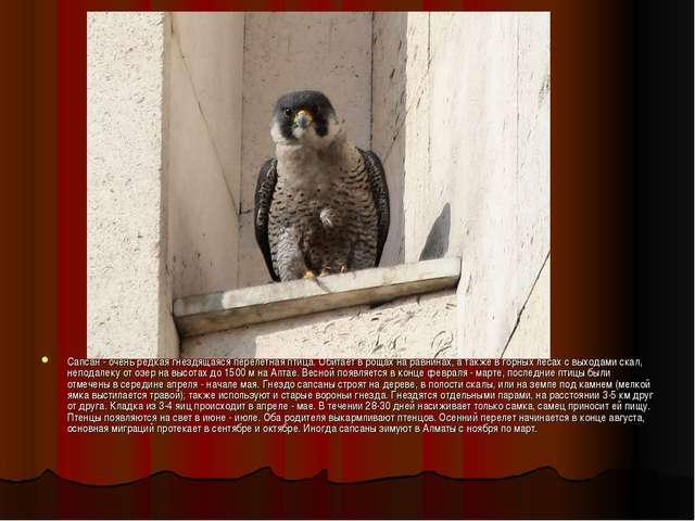 Сапсан - очень редкая гнездящаяся перелетная птица. Обитает в рощах на равнин...