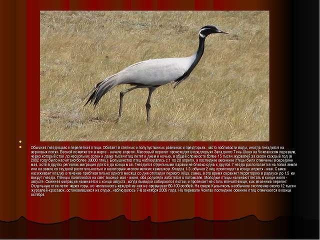 Обычная гнездящаяся перелетная птица. Обитает в степных и полупустынных равн...