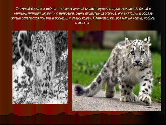 Снежный барс, или ирбис,— хищник длиной около полутора метров с красивой, бе...