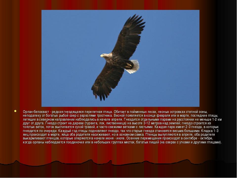 Орлан-белохвост - редкая гнездящаяся перелетная птица. Обитает в пойменных ле...