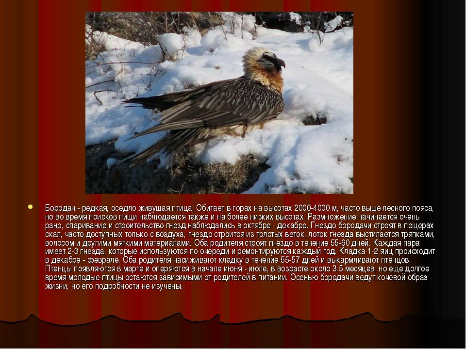 Бородач - редкая, оседло живущая птица. Обитает в горах на высотах 2000-4000...