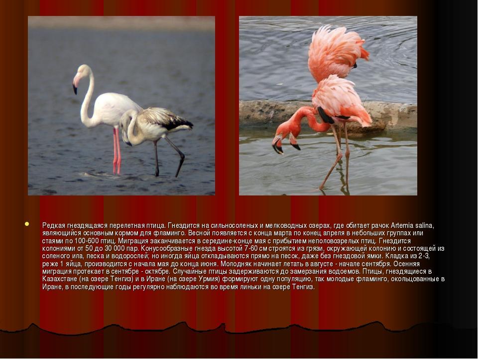 Редкая гнездящаяся перелетная птица. Гнездится на сильносоленых и мелководных...
