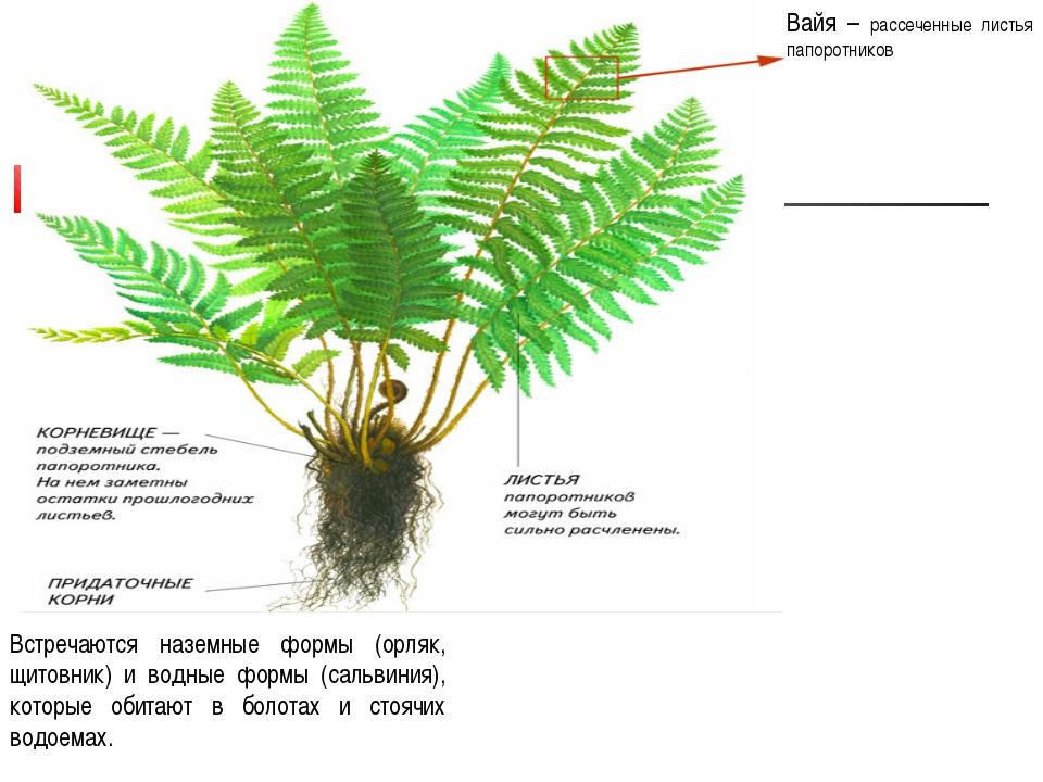Вайя – рассеченные листья папоротников Встречаются наземные формы (орляк, щит...
