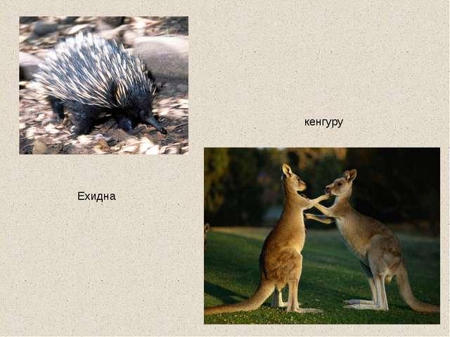Ехидна кенгуру