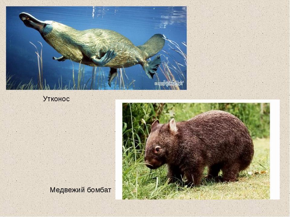 Утконос Медвежий бомбат