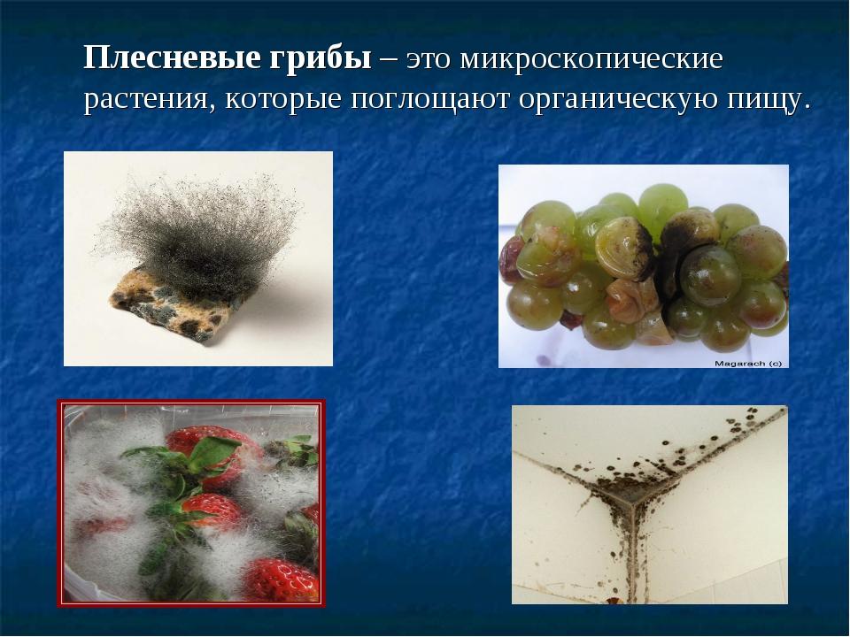 Плесневые грибы – это микроскопические растения, которые поглощают органичес...