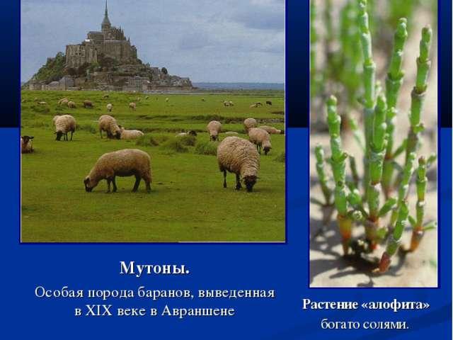 Мутоны. Особая порода баранов, выведенная в XIX веке в Авраншене Растение «ал...