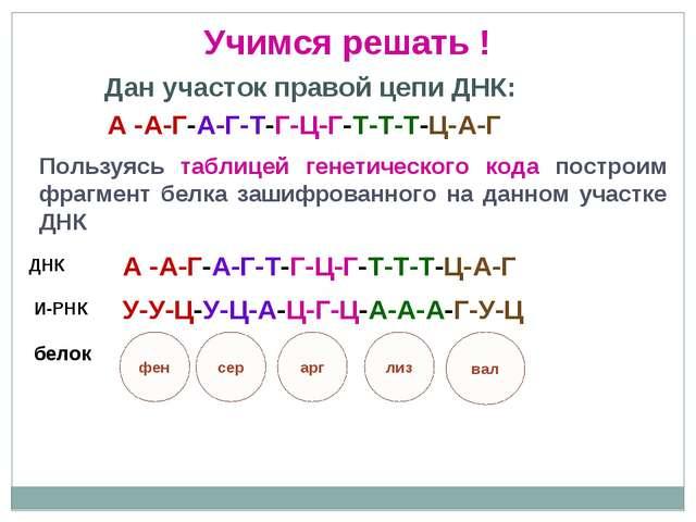 Дан участок правой цепи ДНК: Пользуясь таблицей генетического кода построим ф...