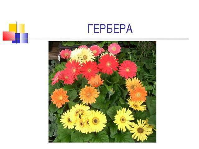 ГЕРБЕРА