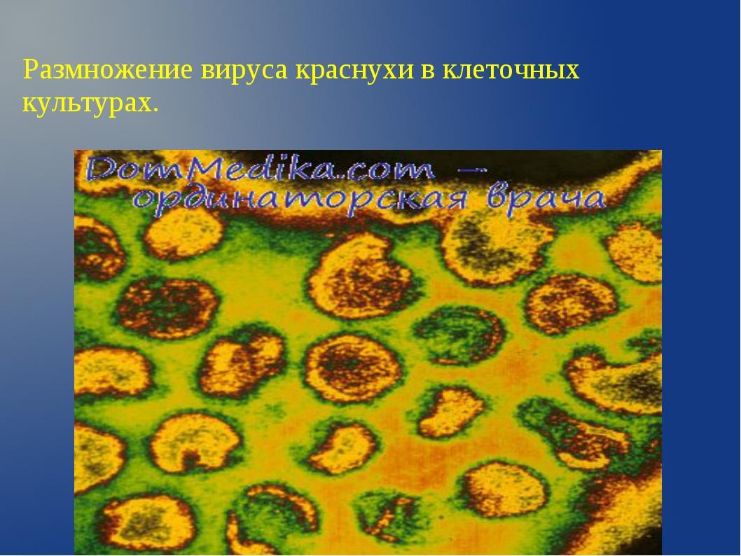 Размножение вируса краснухи в клеточных культурах.