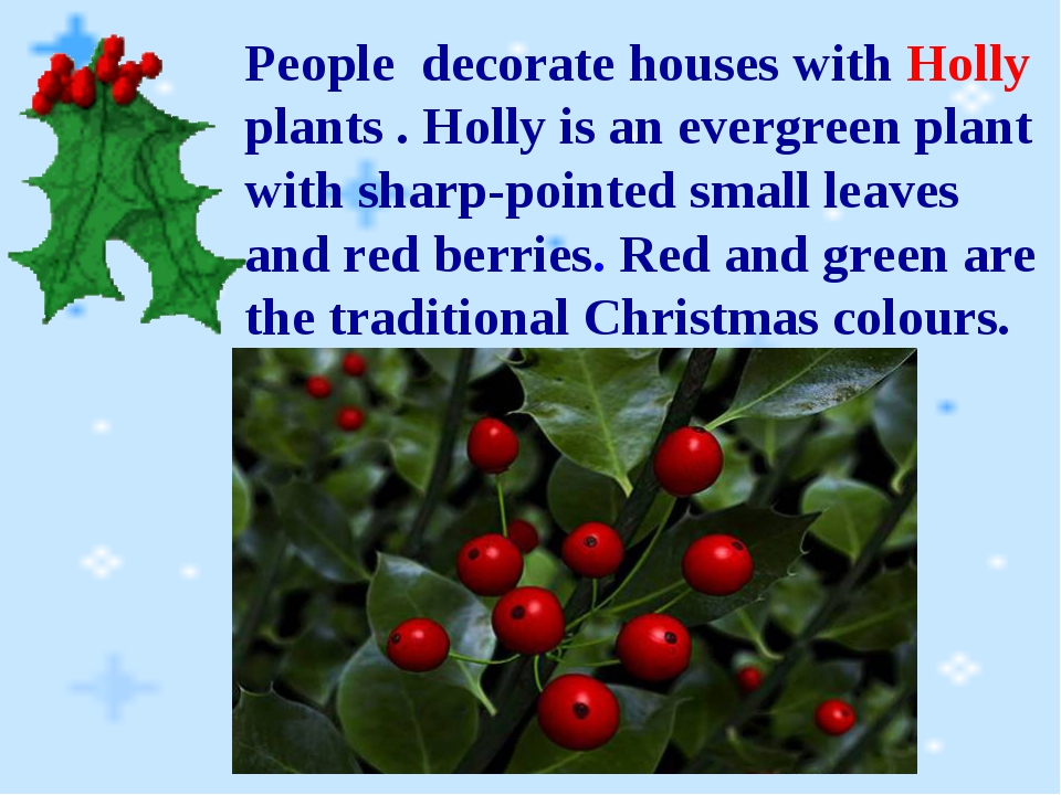 People decorate houses with Holly plants . Holly is an evergreen plant with s...