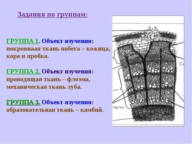 Задания по группам: ГРУППА 1. Объект изучения: покровнаая ткань побега – кож...