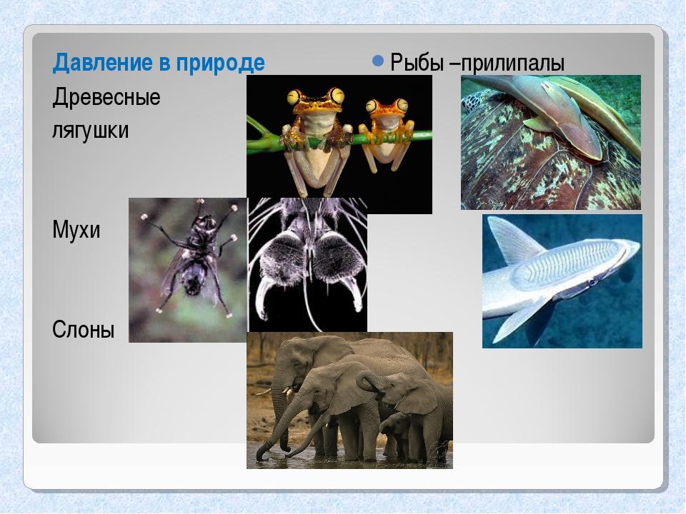 Давление в природе Древесные лягушки Мухи Слоны Рыбы –прилипалы