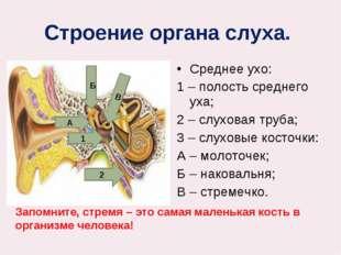 Строение органа слуха. Среднее ухо: 1 – полость среднего уха; 2 – слуховая т