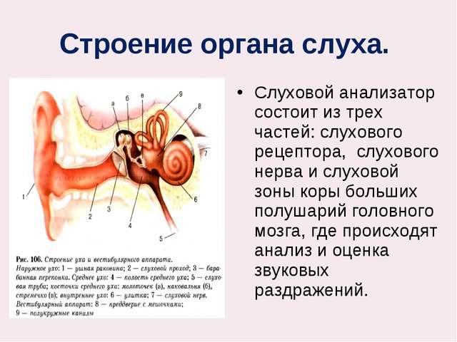 Строение органа слуха. Слуховой анализатор состоит из трех частей: слухового...