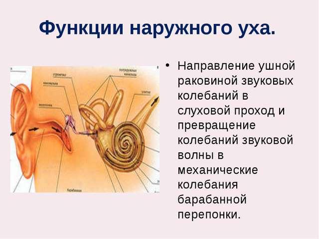 Функции наружного уха. Направление ушной раковиной звуковых колебаний в слух...