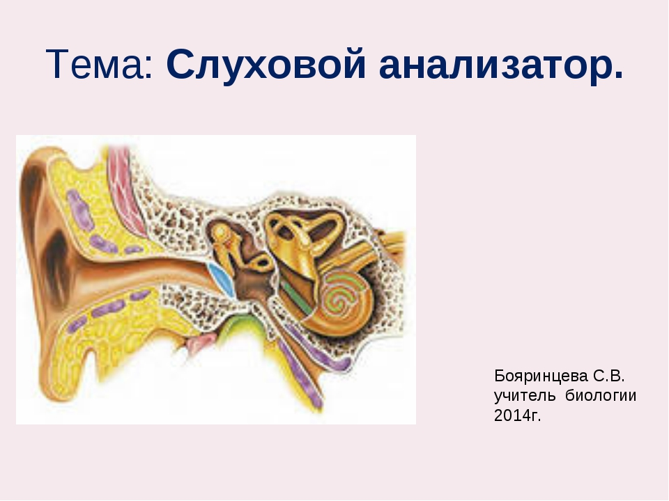 Тема: Слуховой анализатор. Бояринцева С.В. учитель биологии 2014г.