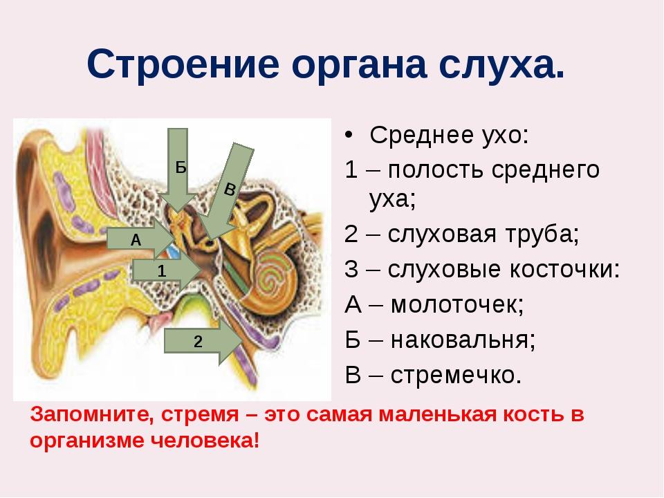 Строение органа слуха. Среднее ухо: 1 – полость среднего уха; 2 – слуховая т...