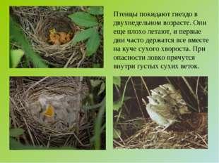 Птенцы покидают гнездо в двухнедельном возрасте. Они еще плохо летают, и перв
