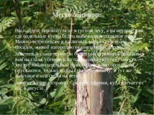 Место обитания: Вы найдете сорокопута не в густом лесу, а на опушке, там, где