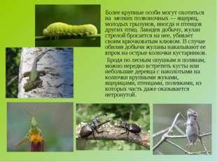 Более крупные особи могут охотиться на мелких позвоночных — ящериц, молодых