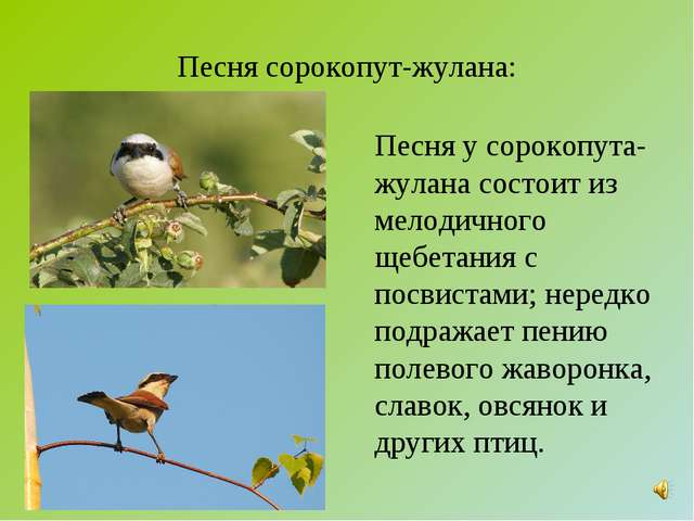 Песня сорокопут-жулана: Песня у сорокопута-жулана состоит из мелодичного щебе...