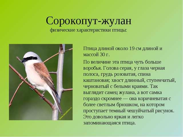 Сорокопут-жулан физические характеристики птицы: Птица длиной около 19 см дли...
