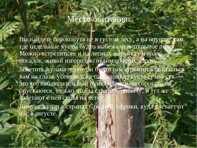 Место обитания: Вы найдете сорокопута не в густом лесу, а на опушке, там, где...
